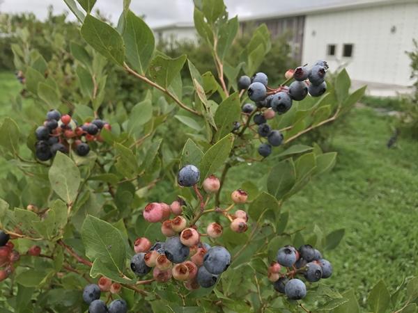 くろいちごcafeのブルーベリー畑