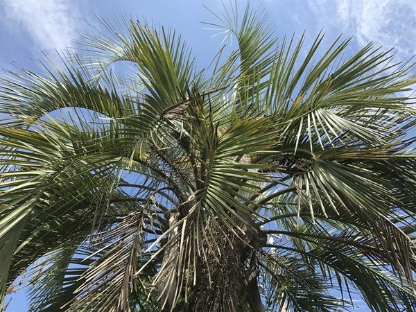 ガレージハウスのシンボルツリーのココヤシの木