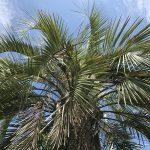 ガレージハウスのシンボルツリーに南国風ココヤシの木に決定!