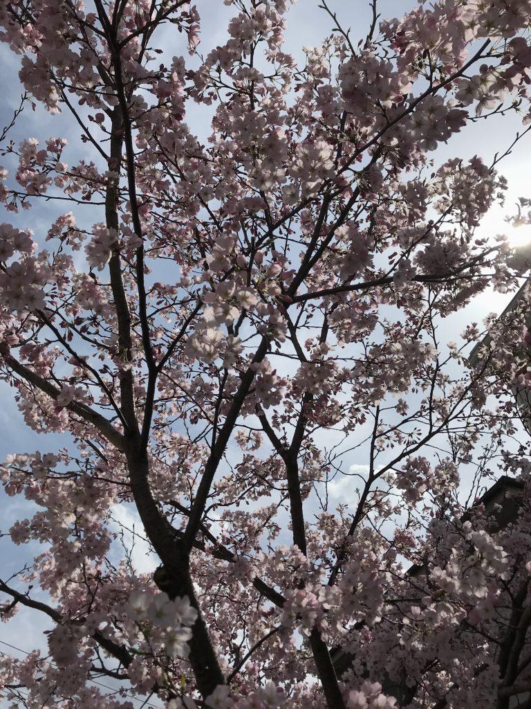 座間市側を、相模が丘仲よし小道と呼び、相模原市側をさがみ仲良し小道と呼んでいます。 相模が丘仲よし小道は約1.6kmにわたる桜並木の遊歩道で、さくら百華の道とも呼ばれています。 64品種の桜があり、秋と2月下旬から5月上旬まで順次見頃の桜を楽しめる座間の緑道です。 桜以外にも様々な季節の花がいっぱいで、地元の方々の憩いの場となっています。